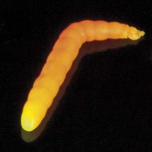 Saenger Iron Trout Baco - Leucht-Gelb-Orange